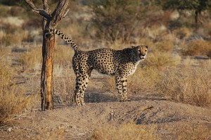 cheetah uring marking