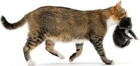 mama-scruffs-carries-kitten