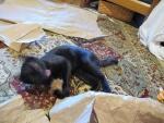 Tootie crazy kitten with Rosey's ball (2018)